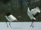 A Pair of Japanese or Red Crowned Cranes Engage in a Courtship Dance Photographic Print by Tim Laman