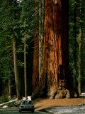A Car Drives in Front of a Giant Sequoia Tree Fotografisk tryk af Tim Laman