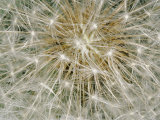 Close-up of a Common Dandelion Photographic Print by Brian Gordon Green