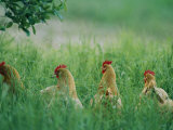 Four Buff Orpington Hens in Tall Grass Fotografisk tryk af Joel Sartore