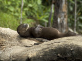 Giant River Otter Rests on a Log at Lake Balbina Impressão fotográfica por Nicole Duplaix