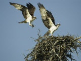 Osprey Landing in its Nest near its Partner Reproduction photographique par Klaus Nigge