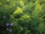 Ferns and Wild Phlox Near the Susquehanna River Photographic Print by Raymond Gehman