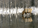 A Male Elk Takes a Drink While Standing in the Water in This Winter Scene Photographic Print by Roy Toft