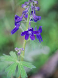 Close View of a Blue Phlox in Bloom Photographic Print by Stephen Alvarez