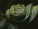 A Captive Green Tree Python Resting on a Tree Branch Photographic Print by Taylor S. Kennedy