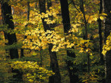 A Woodland View into an Autumn-Colored Forest Photographic Print by Tim Laman