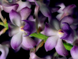 Wild Orchids Photographic Print by Tim Laman