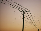 Silhouetted against a Twilight Sky, a Flock of Birds Rests on Telephone Wires Photographic Print by Robert Madden
