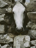 The Head of a White Connemara Pony Pokes Through a Gap in a Stone Wall Photographic Print by Anne Keiser
