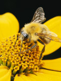 Bee on a Flower Photographic Print by George Grall