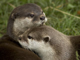 Pair of Mated Asian Short-Clawed River Otters Show Affection Fotografisk tryk af Nicole Duplaix