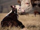 Hereford Cow with Calf Fotografisk tryk af Sam Abell