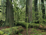 Woodland View of Evergreens and Tree Trunks Covered in Moss Photographic Print by Klaus Nigge