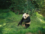 A Seated Panda Bear Eating Bamboo Photographic Print by Wolcott Henry