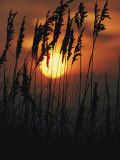 Seagrass Silhouetted at Sunset Photographic Print by Emory Kristof