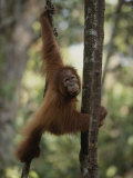 An Orangutan Climbs a Tree in an Orangutan Rehabilitation Center Photographic Print by Michael Nichols