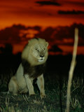 A Lion with Shining Eyes Looks into the Camera Photographic Print by Beverly Joubert