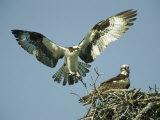 Osprey Landing in its Nest near its Partner Fotografisk tryk af Klaus Nigge