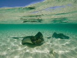 Aquatic Split-Level View of Two Southern Stingrays in Clear Water Photographic Print by Wolcott Henry