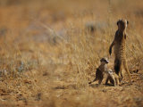An Adult Meerkat Stands Guard over Two Playful Youngsters Photographic Print by Mattias Klum