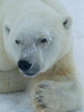 A Close View of a Polar Bear Photographic Print by Paul Nicklen