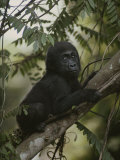 A Portrait of an Orphaned Gorilla Living at a Gorilla Sanctuary Photographic Print by Michael Nichols
