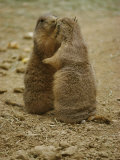 National Zoo Prairie Dogs Show Affection by Kissing Photographic Print by Brian Gordon Green