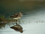 A Sandpiper and its Reflection in Calm Water Lámina fotográfica por Klaus Nigge