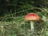Psychotropic Amanita Muscaria Mushroom near a Fern Photographic Print by Klaus Nigge