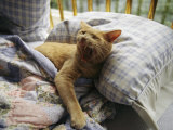 A Yawning Cat Wakes from a Nap in a Humans Bed Photographie par Sisse Brimberg