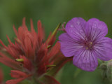 Indian Paintbrush and Wild Geranium (Right) Photographie par Norbert Rosing