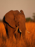 African Elephant Eating Grass Photographic Print by Beverly Joubert
