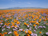 California Poppies and Other Wildflowers Fill a Scenic Landscape Photographic Print by Rich Reid