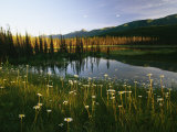 Daisies Grow Near a Lake in Yoho National Park Photographic Print by Michael Melford