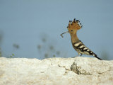 A Hoopoe Carries an Insect in its Mouth Reproduction photographique par Klaus Nigge