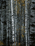 A Forest of White Birch Trees Photographic Print by Medford Taylor