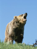 Grizzly Bear Vocalizing Photographic Print by Norbert Rosing