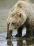 An Alaskan Brown Bear Walks Through Shallow Water Photographic Print by Roy Toft