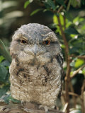 Tawny Frogmouth Bird Photographic Print by George Grall