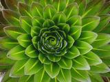 A Giant Lobelia Plant Fotodruck von George F. Mobley