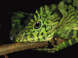 A Close View of the Head of a Lizard Lying Along a Branch Lámina fotográfica por Tim Laman