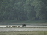 Wild Boar and her Piglets Running along a River Bank Photographic Print by Klaus Nigge