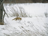 A Red Fox in a Snowy Landscape Photographic Print by Tim Laman