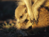 A Baby Meerkat Snuggles up to its Caretaker for Warmth and Safety Photographic Print by Mattias Klum