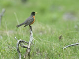 American robin  on dead wood, Yellowstone National Park Photographie par Norbert Rosing