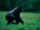 A Western Lowland Gorilla (Gorilla Gorilla Gorilla) Sprinting Through a Field Photographic Print by Michael Nichols