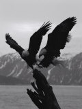 Two Bald Eagles Fight Each Other for Food Photographic Print by Norbert Rosing