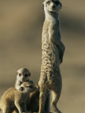 A Meerkat Stands with Her Young at Her Feet Photographic Print by Chris Johns