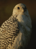Gyrfalcon (Falco Rusticolus) in its White Phase Photographic Print by Joel Sartore